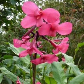 Canna iridiflora 'Ehemanii'