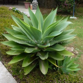 Agave attenuata - Agave Queue de renard