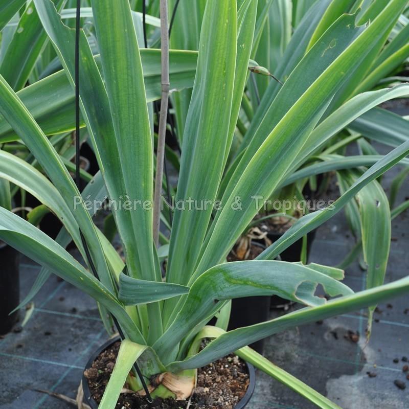 beschorneria yuccoides plante tropicale et succulente. Black Bedroom Furniture Sets. Home Design Ideas