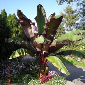 Ensete ventricosum 'Maurelli' - Bananier d'Abyssinie Pourpre