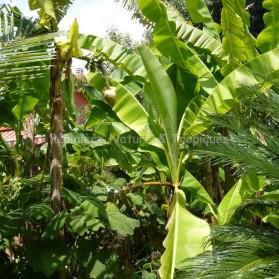 Musa basjoo - Bananier du Japon