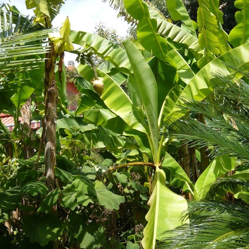 bananier jardiland fabulous plantes pour extrieur tout bambous artificiels exterieur fashion. Black Bedroom Furniture Sets. Home Design Ideas