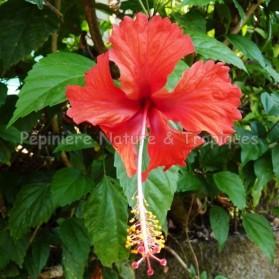 Hibiscus rosa sinensis - Hibiscus tropical rouge