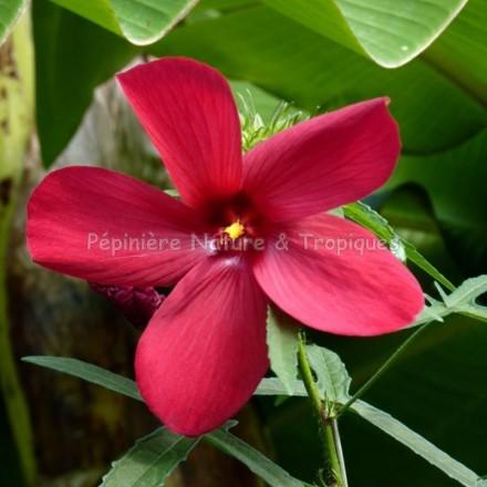 Hibiscus manihot 'Rouge'