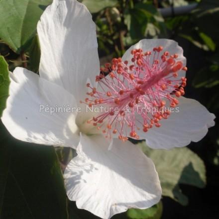 Hibiscus arnottianus- Hibiscus parfumé
