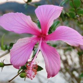 Hibiscus rosa sinensis 'Dainty Pink'