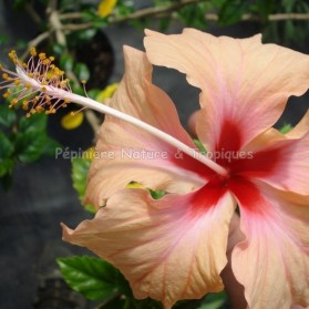 Hibiscus rosa sinensis 'Cœur Créole' - Hibiscus saumon