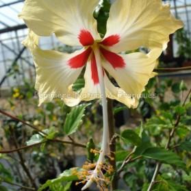 Hibiscus rosa sinensis 'Cœur Créole'