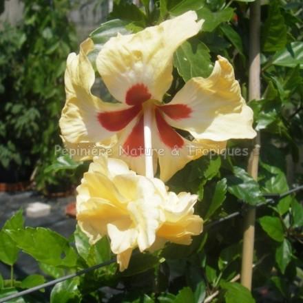Hibiscus rosa sinensis 'Pagoda Capito Aurea' - Hibiscus tropical jaune
