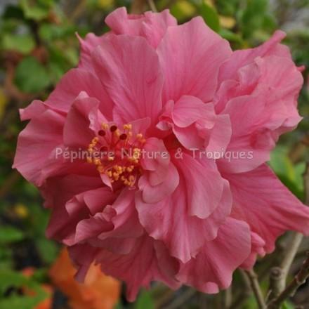 Hibiscus Rosa Sinensis Rose Triple Pepiniere Nature Et Tropiques
