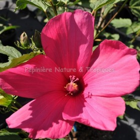 Hibiscus x moscheutos 'Raspberry Rose'