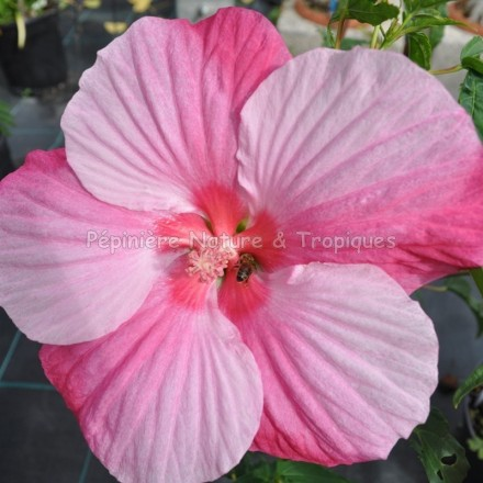 Hibiscus x moscheutos 'Turn of Century'
