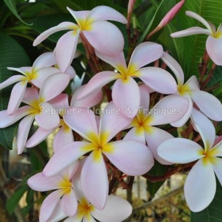Plumeria rubra 'Kanapali' - Frangipanier Rose