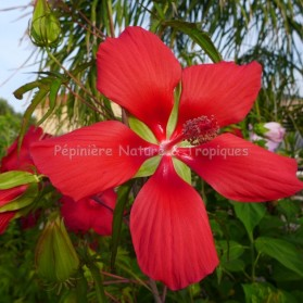 Hibiscus coccineus - Hibiscus rustique Rouge