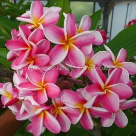 Plumeria rubra 'Tricolor' - Frangipanier Blanc, Rouge et Jaune