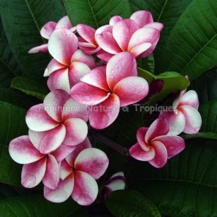 Plumeria rubra 'Elsie' - Frangipanier Rose et Blanc