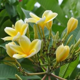 Plumeria rubra 'Punch Banana' - Frangipanier Jaune