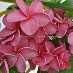 Plumeria rubra 'Calcuta Star' - Frangipanier Rose foncé