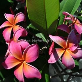 Plumeria rubra 'Sunburst' - Frangipanier Rouge,Orange et jaune