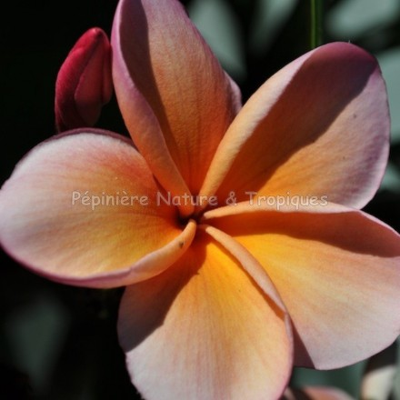 Plumeria rubra 'Kimo' - Frangipanier Orange