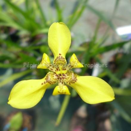 Trimezia steyermarkii - Iridacée jaune
