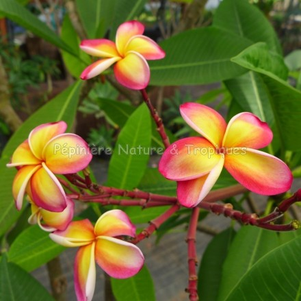 Plumeria rubra 'Intense Rainbow' - Frangipanier Jaune vif