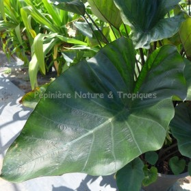 Colocasia esculenta 'Tea Cup'