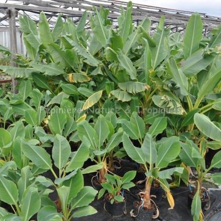 Musella lasiocarpa - Bananier nain