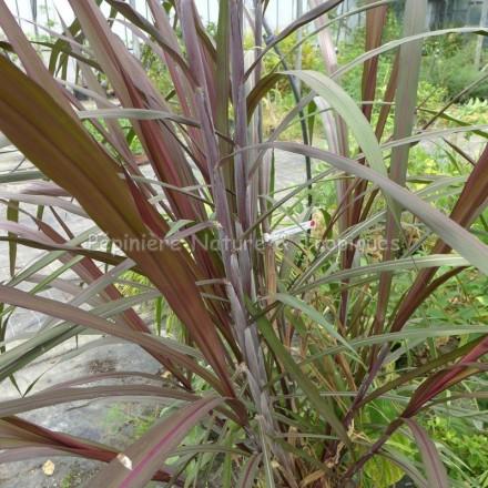 Saccharum officinarum 'Purpureum'