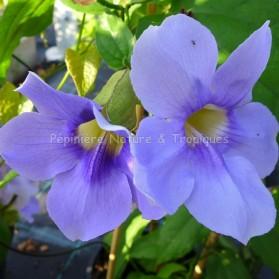 Thunbergia grandiflora ' Augusta Blue'