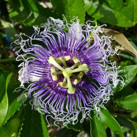Passiflora edulis - Fruit de la Passion - Grenadille