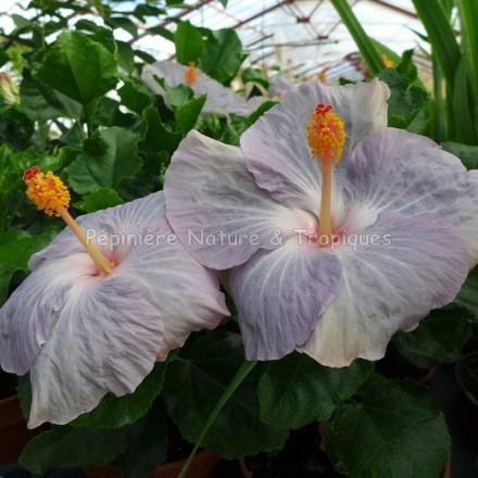 Hibiscus rosa sinensis 'Gris' - Hibiscus tropical gris