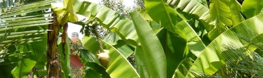 Bananiers et Canna