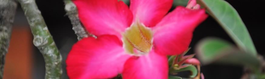 Caudex et succulentes